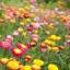 ดอกกระดาษ คละสี Straw flower, Everlasting / 200 เมล็ด thumbnail 2