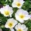 อีฟนิ่งพริมโรส สีขาว Evening Primrose Showy White/ 50 เมล็ด thumbnail 1