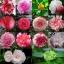 คามิเลีย มิ๊กซ์ camellia Mix / 2 เมล็ด thumbnail 1