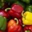 พริกหวานยักษ์ สายพันธ์ุต่างประเทศ Sweet Bell Pepper Seeds / 10 เมล็ด thumbnail 1