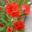 เทียนซ้อน สีแดงอมส้ม #8 Balsam / 50 เมล็ด thumbnail 2