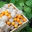 เมล็ดเคพกูสเบอร์รี่ (Cape gooseberry) / 50 เมล็ด