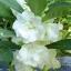 เทียนซ้อน สีขาว (Balsam) #7 / 100เมล็ด thumbnail 1