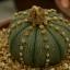 แอสโตรไฟตัม มงกุฏราชา Astrophytum Asterias Mix / 10 เมล็ด thumbnail 3